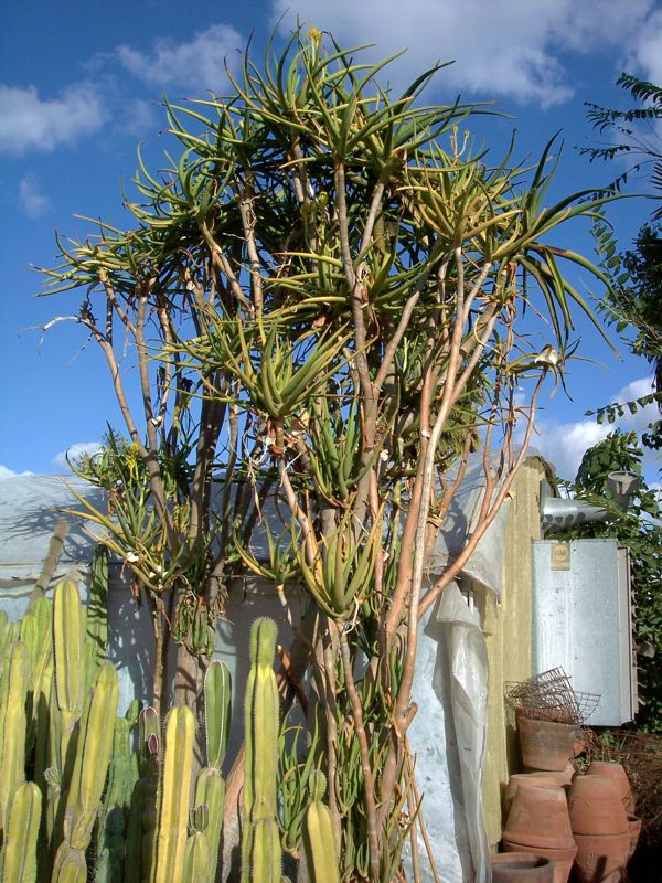 Aloe tongaensis medusa tall Saticoy.jpg