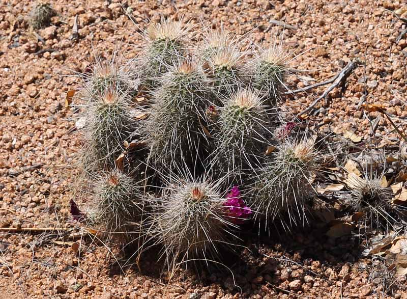 View topic - Let's ID some habitat cacti! • Agaveville