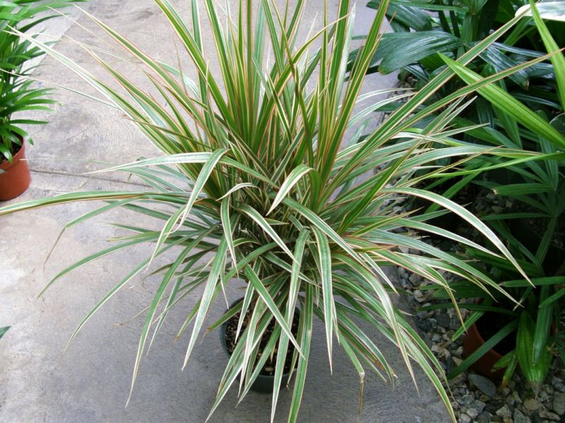 Dracaena marginata tricolor Sperling.jpg