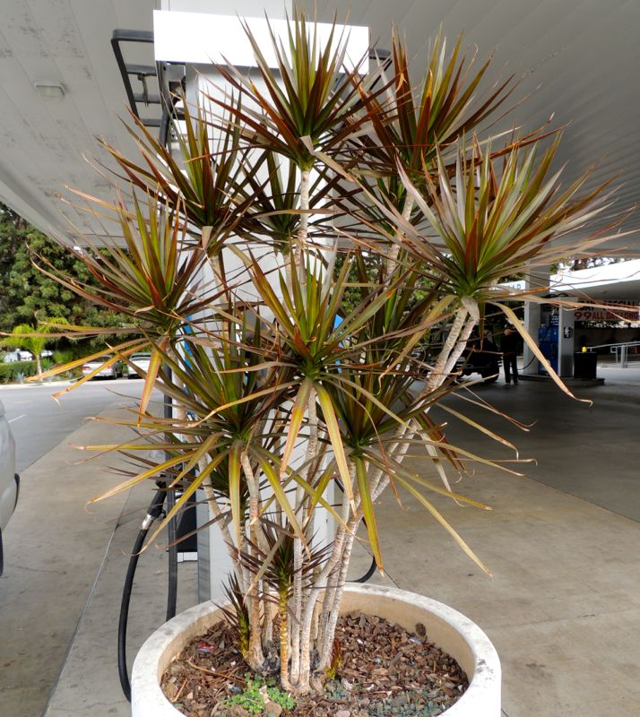 Dracaena potted Gas station.jpg