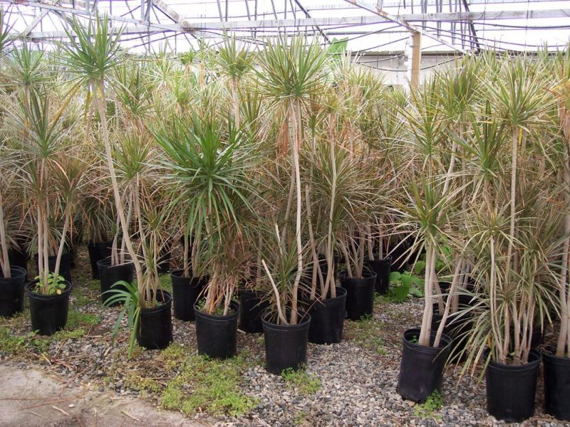 Dracaena marginata  for sale in nursery.jpg