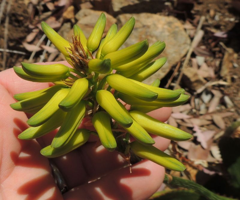 Aloe harlana yellow flower RSN.jpg