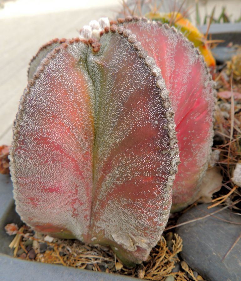 Astrophytum myriostigma red in Jan 14.jpg