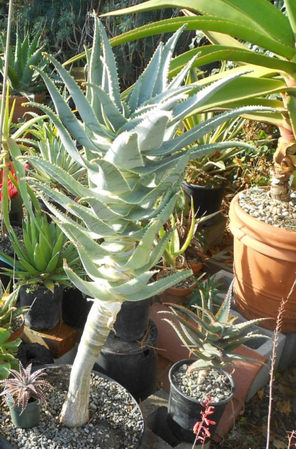 2015 11 18 Aloe pillansii b X750.jpg