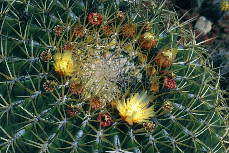 Ferocactus glauscecens floewring closer H March.jpg