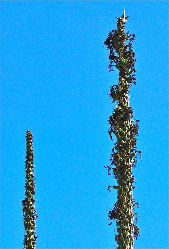 Agave Blue Glow spikes with some bulbils Nov.jpg
