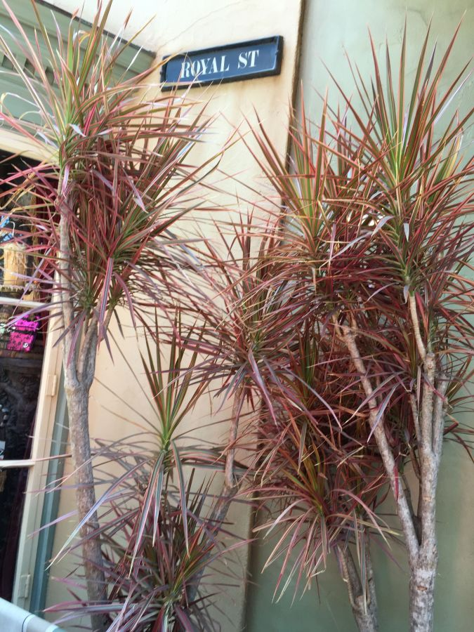 Dracaena marginatas in pot Disney.jpg