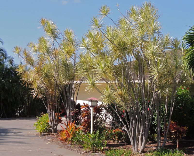 Dracaena marginatas in Kona yard variegated.jpg