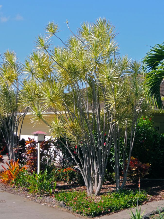 Dracaena marginata variegated in Kona yard.jpg