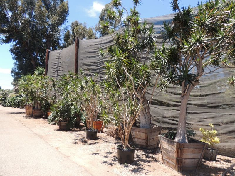 Dracaena marginatas in large boxes rsn.jpg