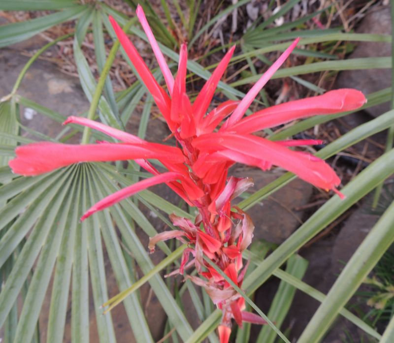 Pitcairnia flower UCB.jpg