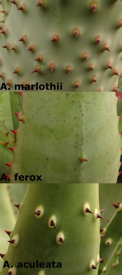 Aloe marlothii, ferox & aculeata - compared.jpg