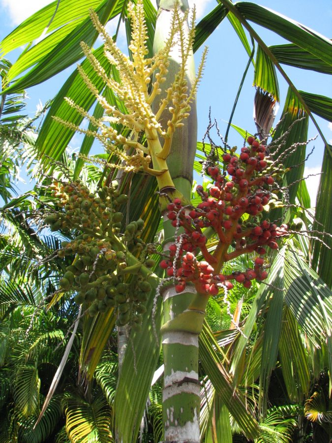 Areca guppyana flowers and fruit.jpg