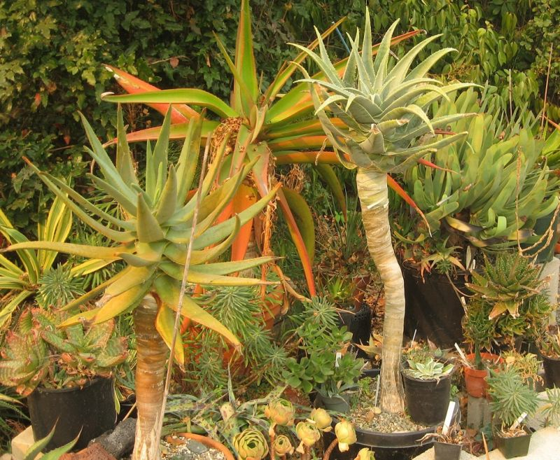 2017 10 11 Aloe pillansii and company a.jpg