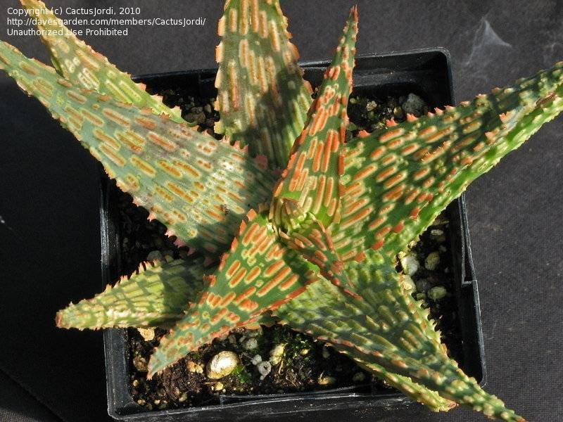 Aloe 'Sunrise' 1b3124.jpg