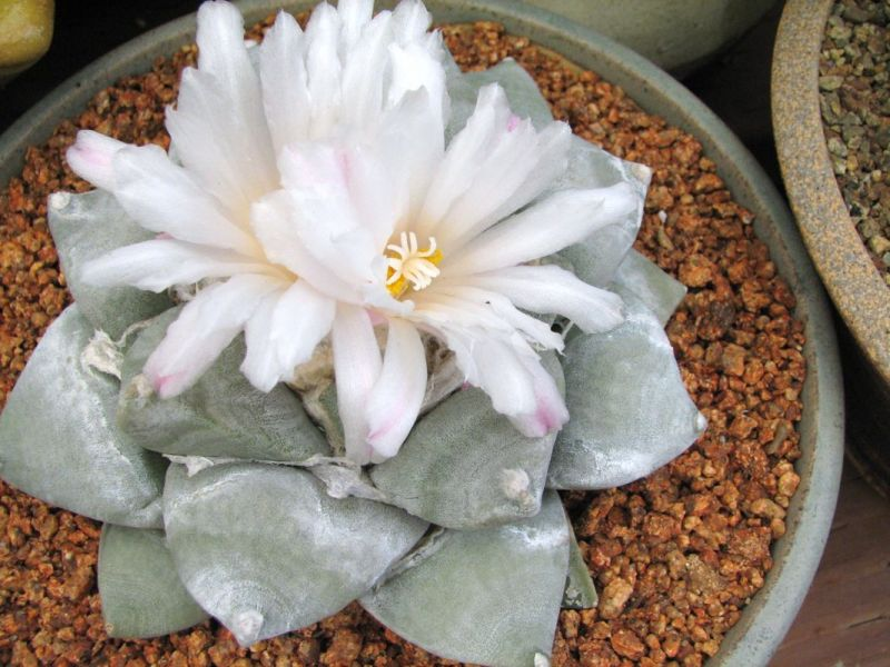 Ariocarpus retusa double flower ccc.jpg