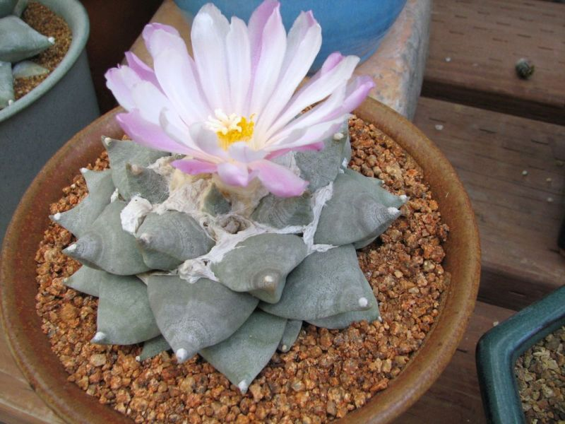 Ariocarpus retusa pinkish flower ccc.jpg
