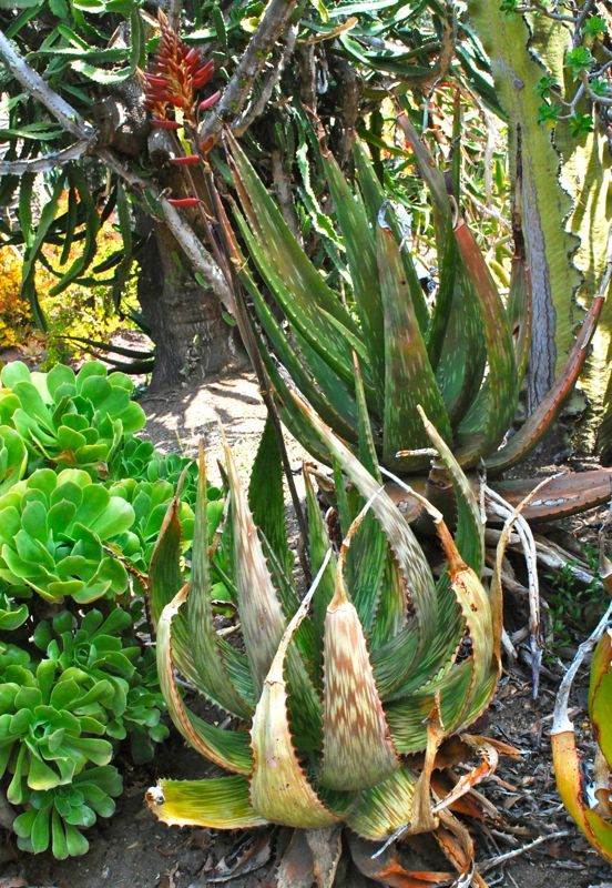 Aloe harlana heavily spotted flower march.jpg