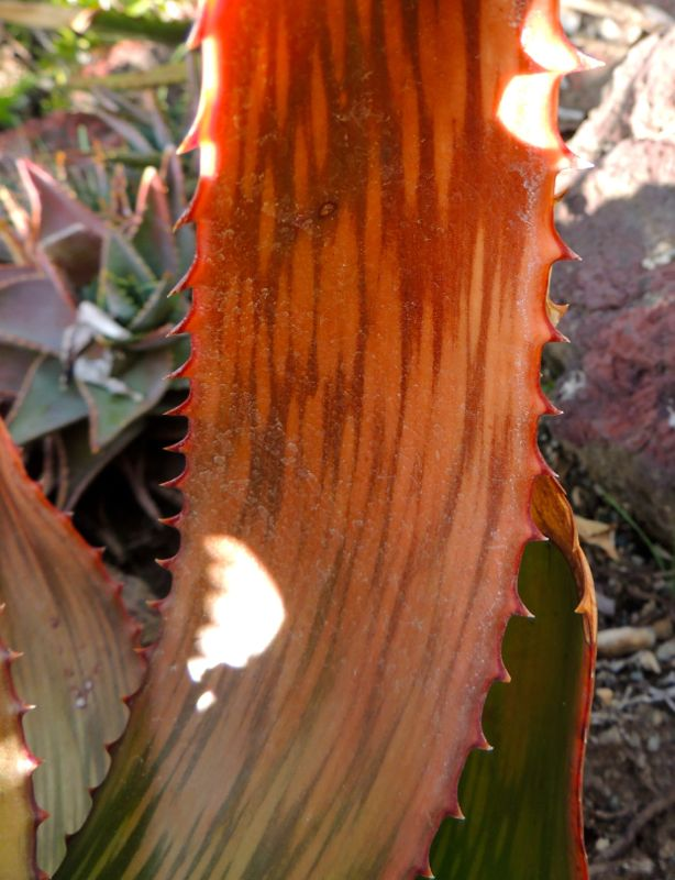 Aloe harlana orange leaf.jpg