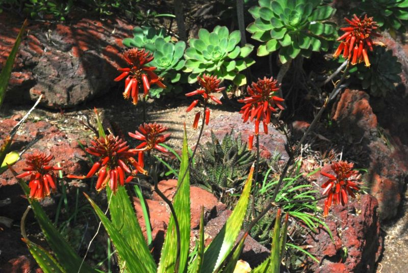 Aloe harlana flowers nice H March.jpg