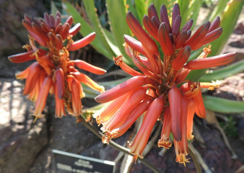 Aloe harlana flowers closer jN.jpg
