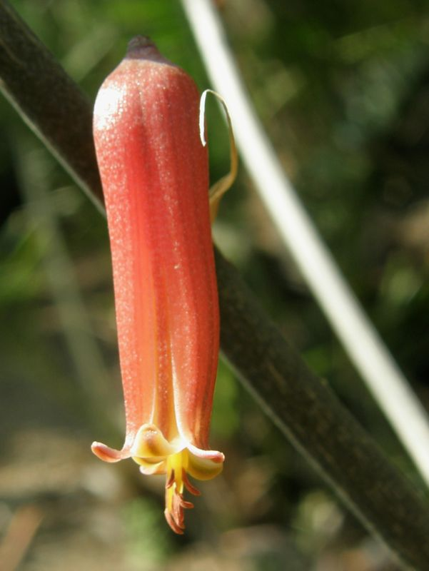 Aloe harlana flower close 2.jpg